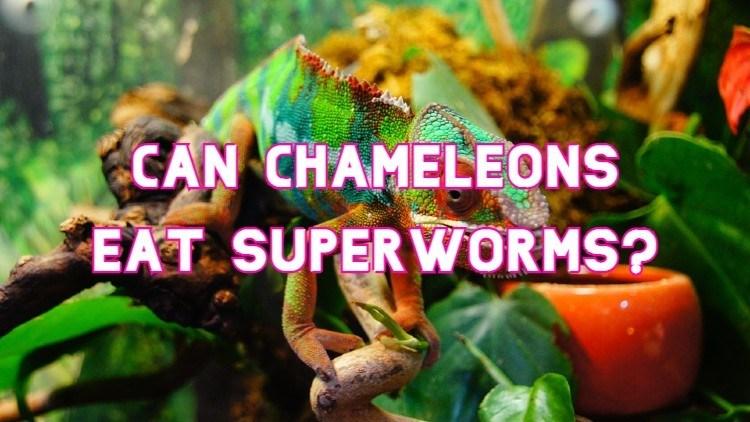can chameleons eat superworms