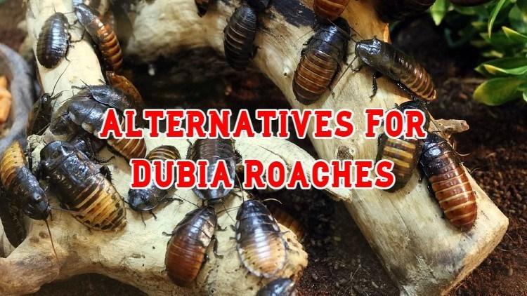 dubia roach illegal