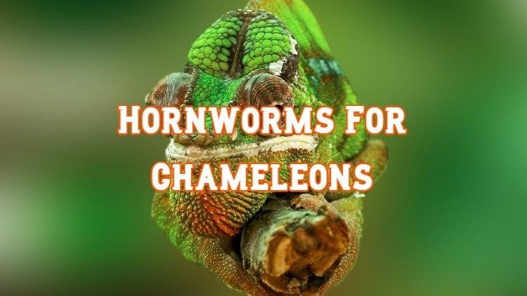 hornworms for chameleons