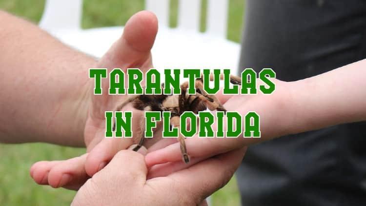 tarantulas in florida