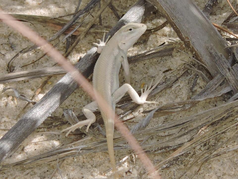 Sceloporus arenicolus