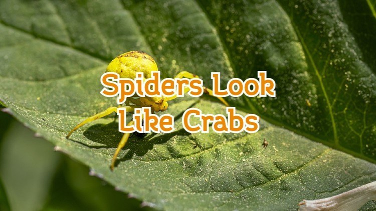 Spiders That Look Like Crabs