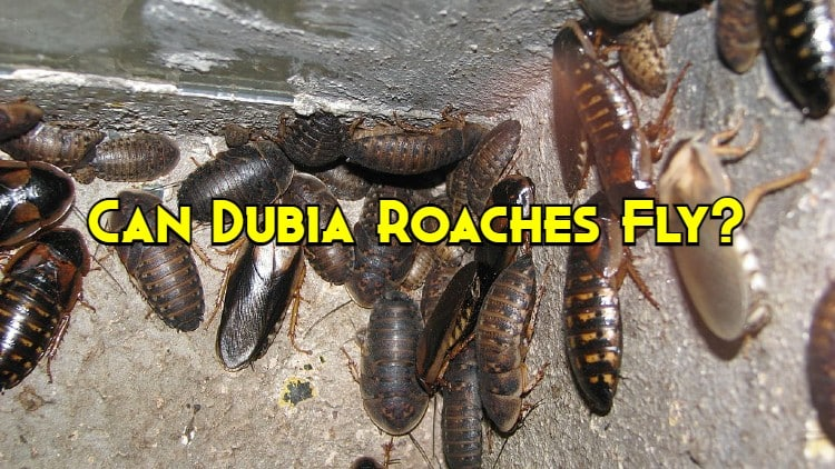 can dubia roaches fly
