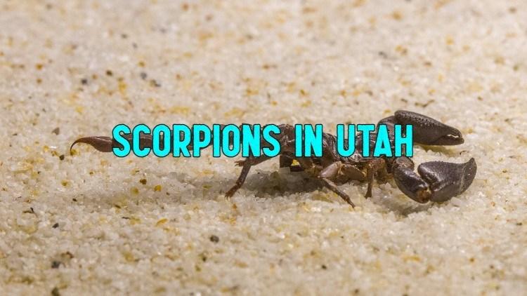 scorpions in utah