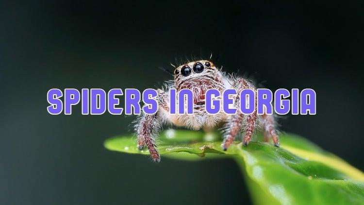 spiders in Georgia