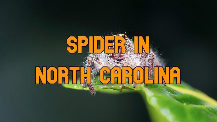 spiders in North Carolina