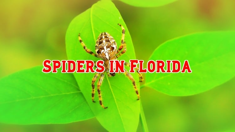 spiders in florida