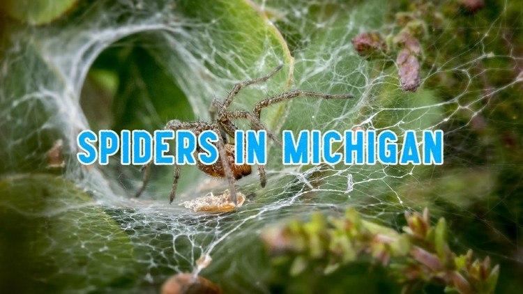 spiders in michigan
