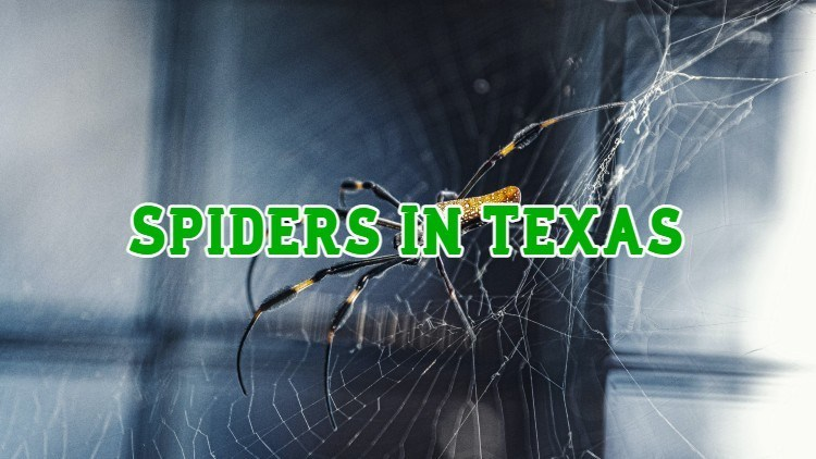 spiders in texas