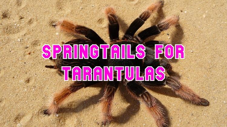 springtails for tarantulas