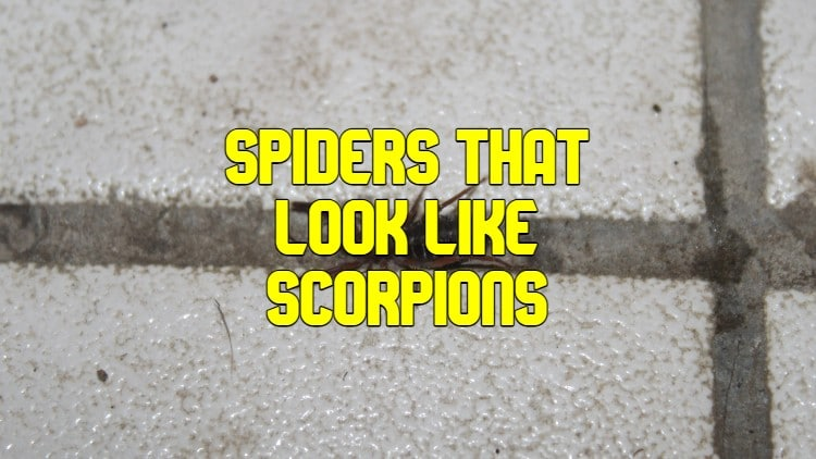 Spiders That Look Like Scorpions