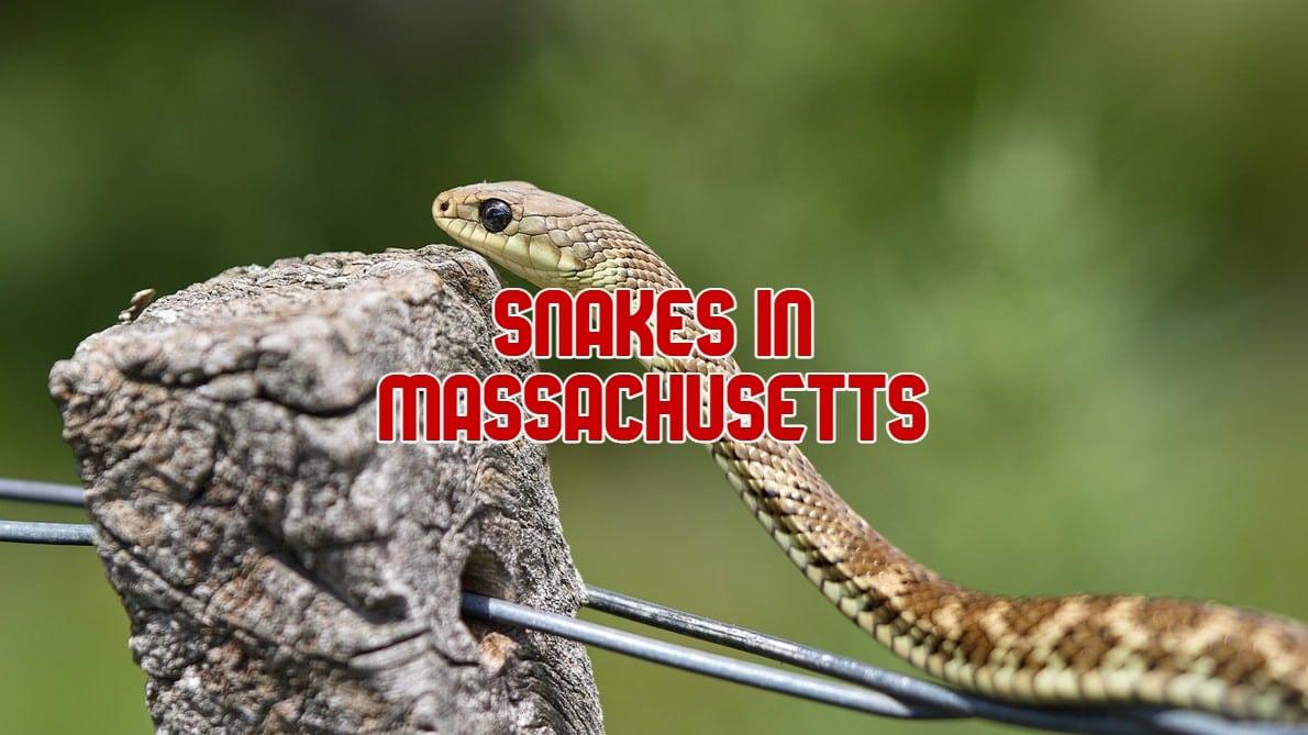 snakes in Massachusetts