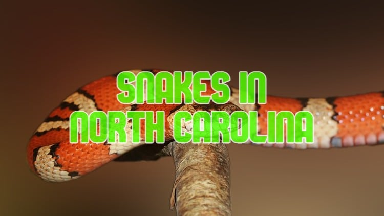 snakes in North Carolina