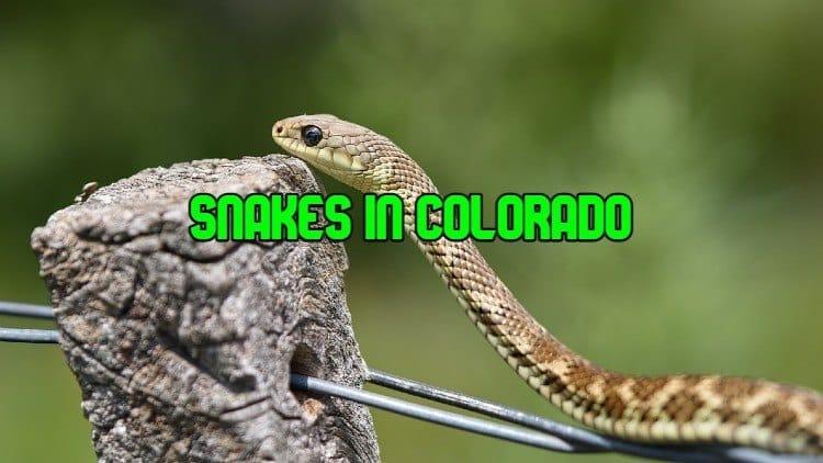 snakes in colorado