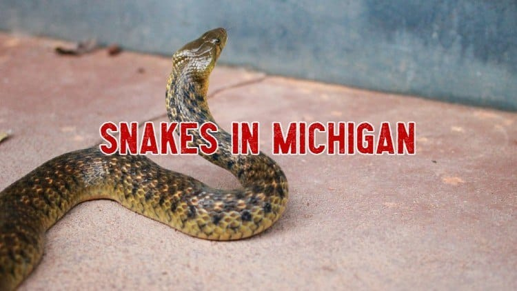 snakes in michigan