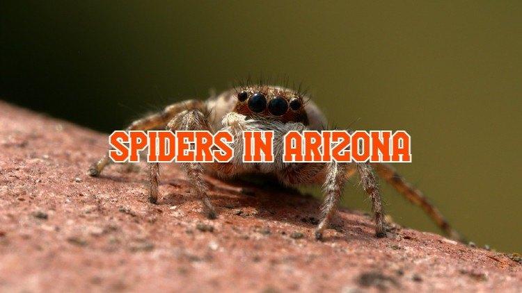 spiders in Arizona