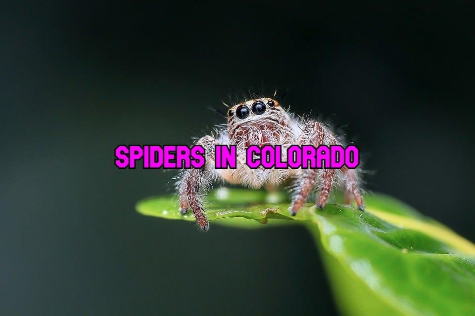 spiders in Colorado