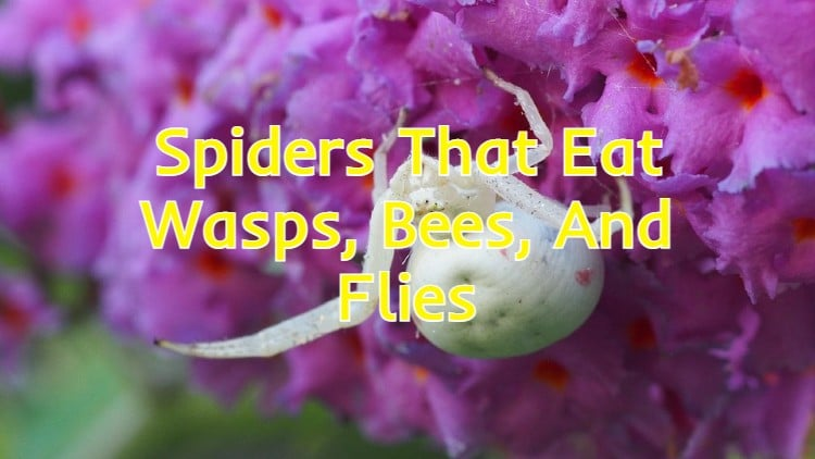 spiders that eat wasps bees flies