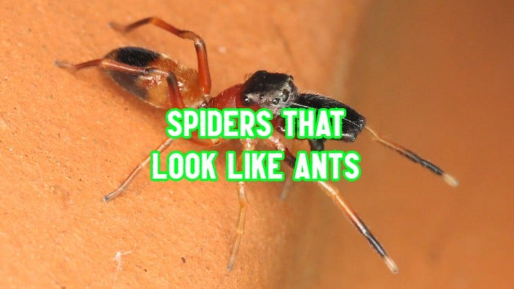 spiders that look like ants
