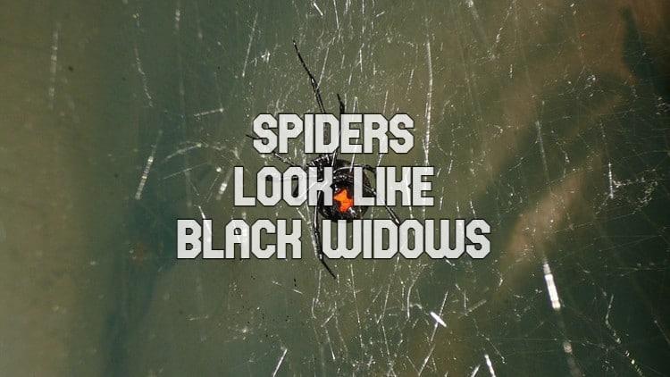 spiders that look like black widows