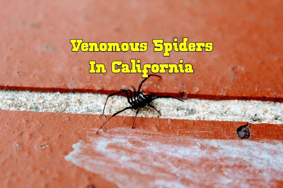 venomous spiders in California