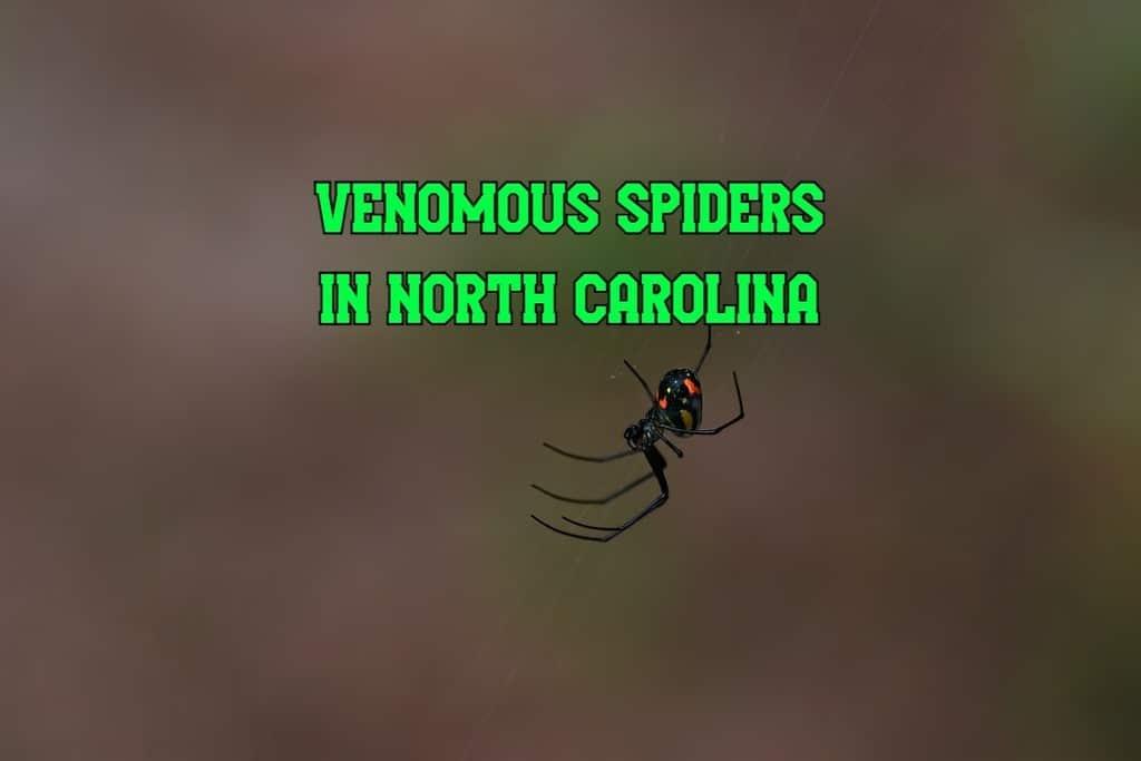 venomous spiders in North Carolina