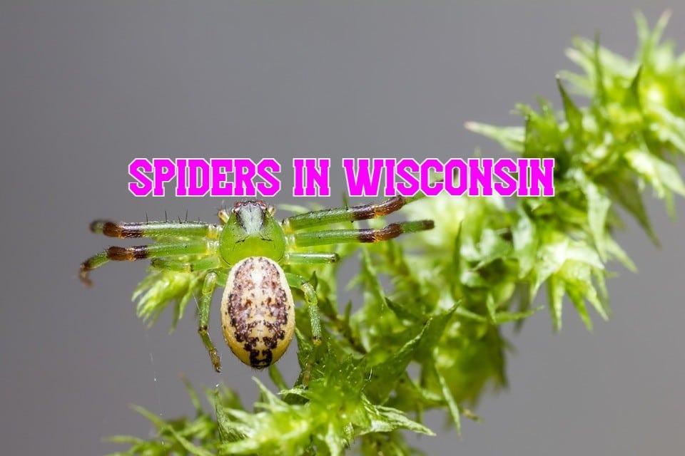 Spiders In Wisconsin