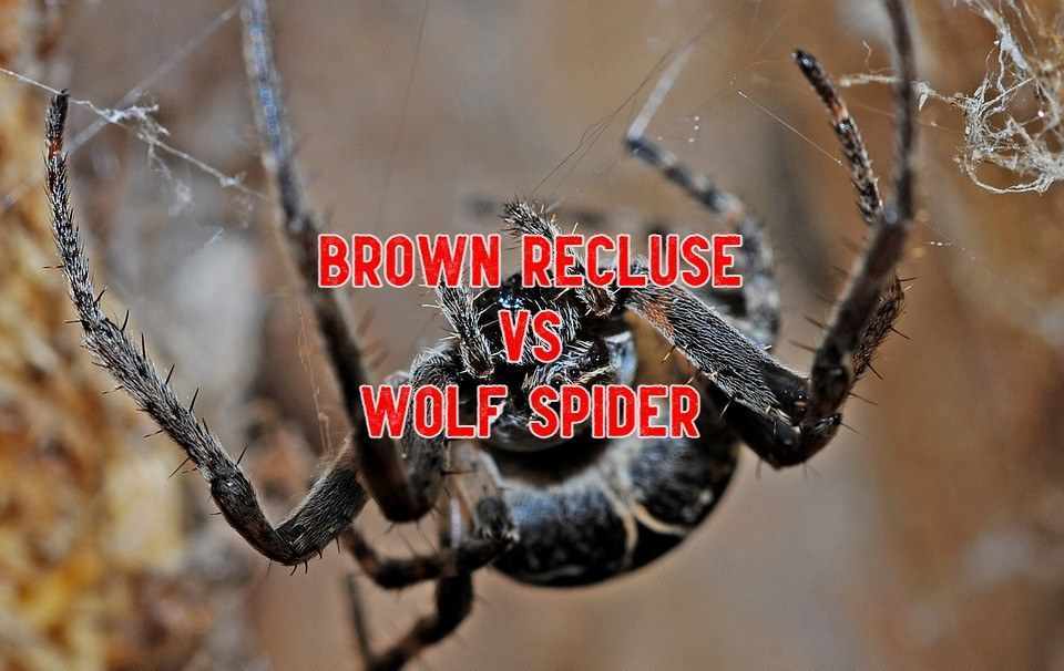brown recluse vs wolf spiders
