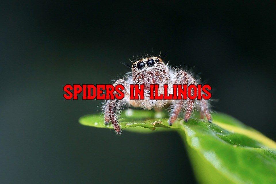 spiders in Illinois