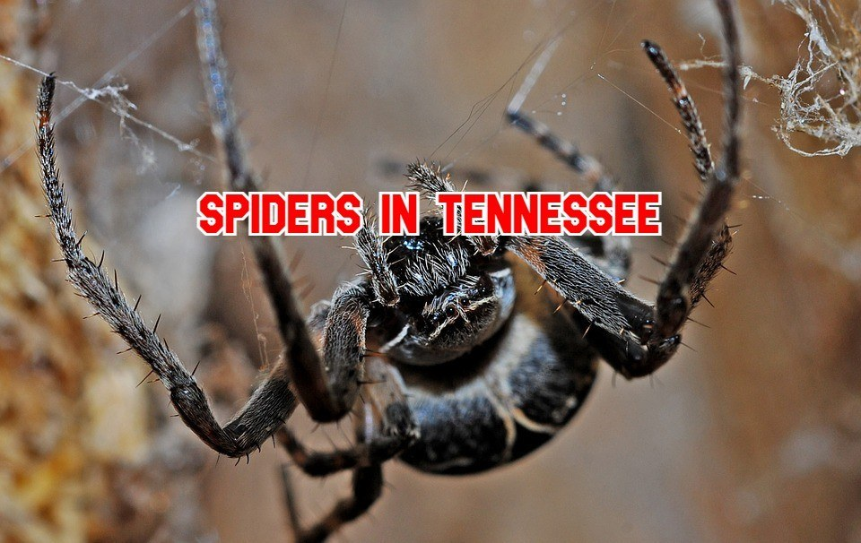 spiders in Tennessee