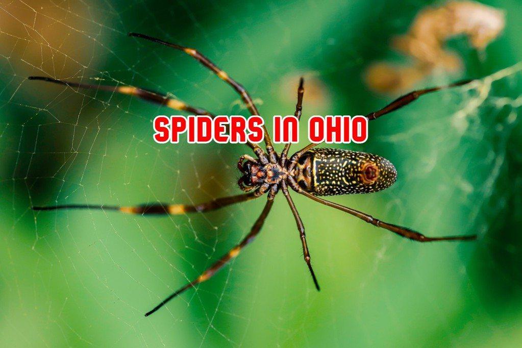 spiders in ohio