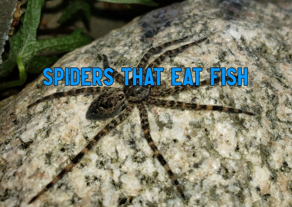 spiders that eat fish