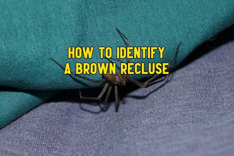 spiders that look like brown recluse