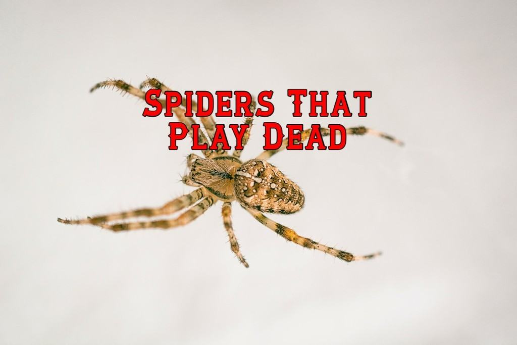 spiders that play dead